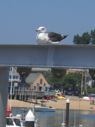 Provincetown_seagull_resting