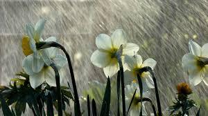 Spring rain silvetti