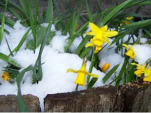 Daffodills-and-snow-ii